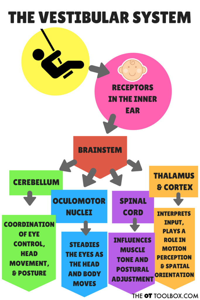 How does the vestibular system work?